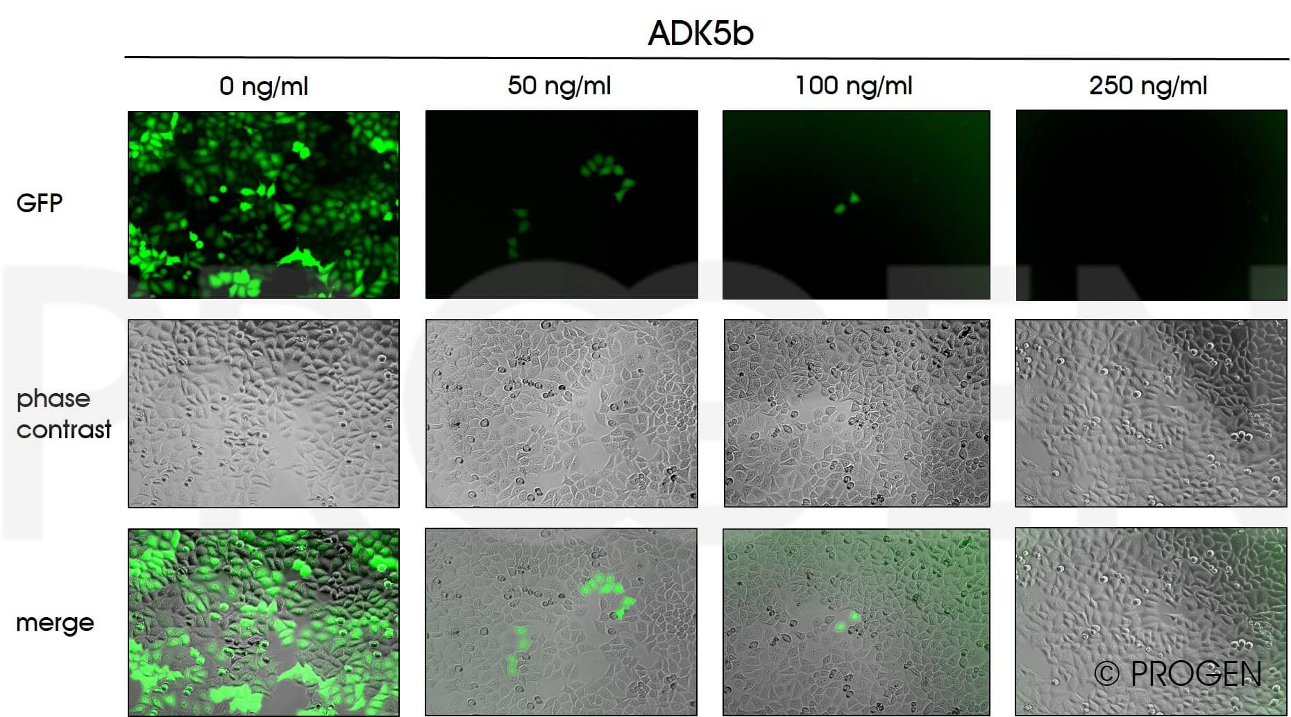 anti-AAV5 (intact particle) mouse monoclonal, ADK5b, lyophilized, purified, sample