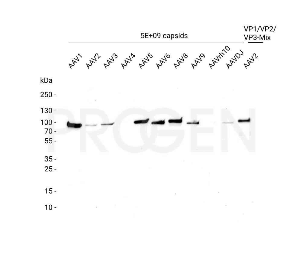 anti-AAV VP1 mouse monoclonal, A1, lyophilized, purified