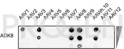 anti-AAV8 (intact particle) mouse monoclonal, ADK8, lyophilized, purified