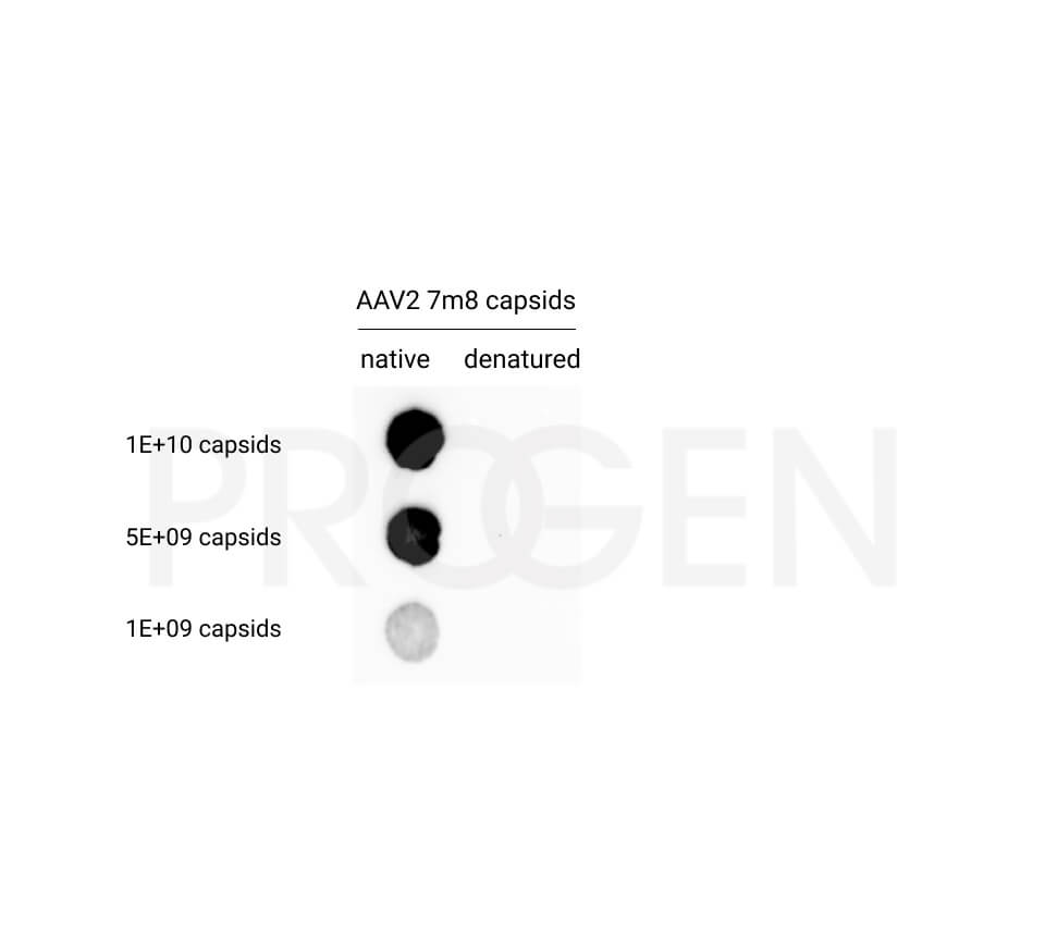 anti-AAV2 (intact particle) mouse recombinant, A20R, lyophilized, purified, sample