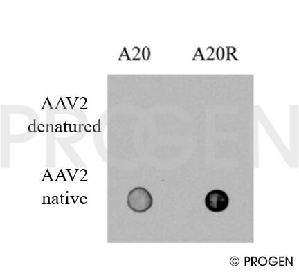 anti-AAV2 (intact particle) mouse recombinant, A20R, lyophilized, purified