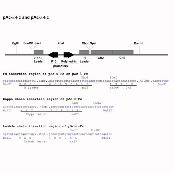 Baculo Expression Vector pAc-lambda-Fc