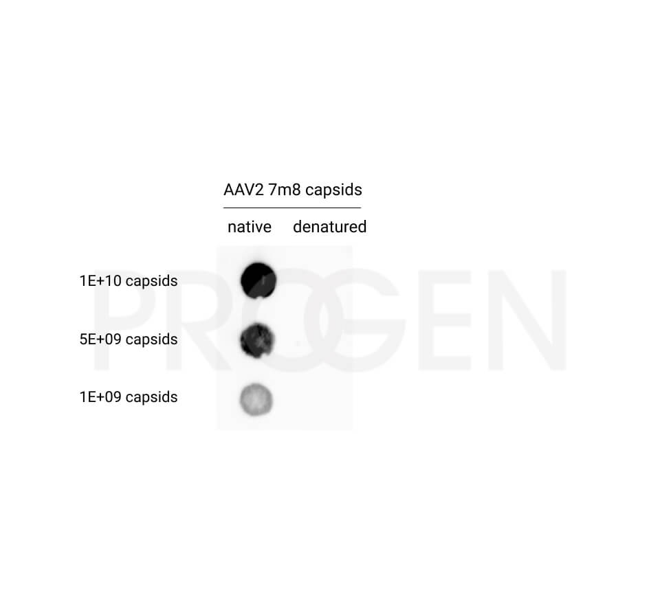 anti-AAV2 (intact particle) mouse monoclonal, A20, lyophilized, purified, sample