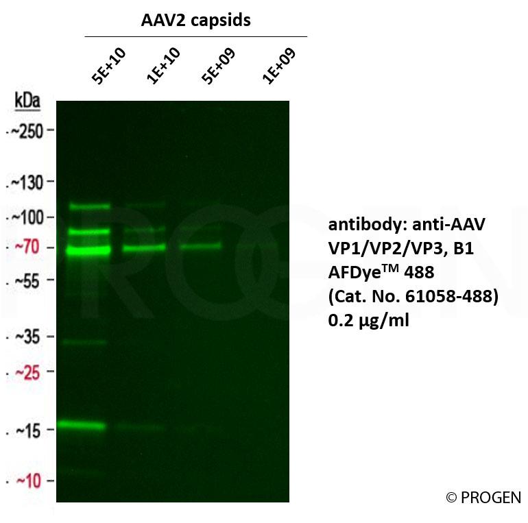 anti-AAV VP1/VP2/VP3 mouse monoclonal, B1, AFDye™ 488 Conjugate