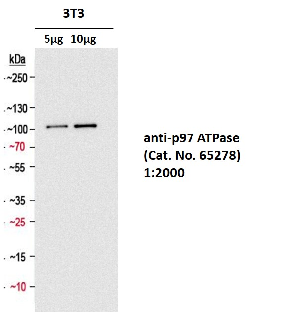 anti-p97 ATPase mouse monoclonal, 58.13.3, supernatant concentrate