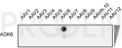 anti-AAV6 (intact particle) mouse monoclonal, ADK6, lyophilized, purified