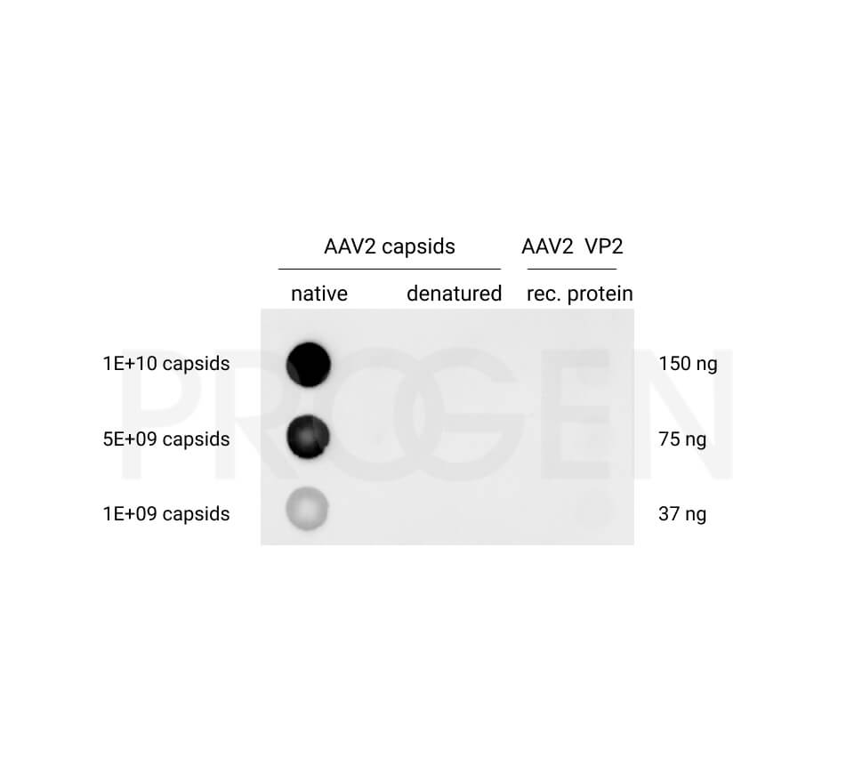 anti-AAV2 (intact particle) mouse recombinant, A20R, Biotin Conjugate